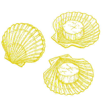 scallop drawing